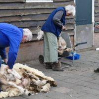 schapen scheren VictorioPictures (3)