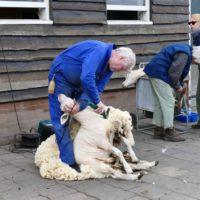 schapen scheren VictorioPictures (5)