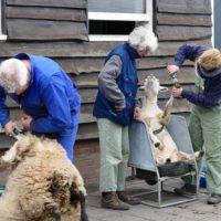 schapen scheren VictorioPictures (6)