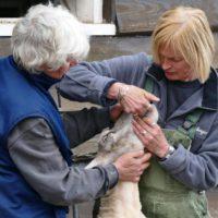 schapen scheren VictorioPictures (9)