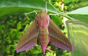 wg-vlinders-groot avondrood