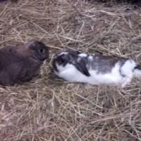 konijnknaag