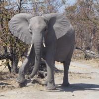 olifant namibie